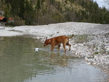 The dog and paper boat. In the photo is a dog rhodesian ridgeback who is playing with paper ship on the river Isar near Vorderriß Bavaria, Germany Stock Photography