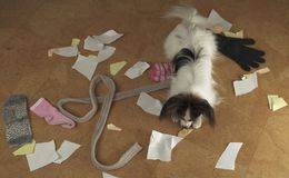 Dog Papillon arranged a pogrom in house scattered things and tore the paper. Dog Papillon arranged a pogrom in the house scattered things and tore the paper Stock Photo