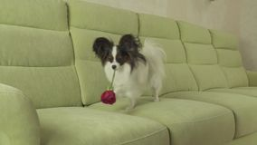 Dog Papillon carries red rose in his mouth in love on valentines day slow motion stock footage video. Dog Papillon carries a red rose in his mouth in love on stock video