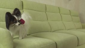 Dog Papillon carries red rose in his mouth in love on valentines day slow motion stock footage video. Dog Papillon carries a red rose in his mouth in love on stock video footage