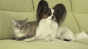 Dog Papillon with cat Thai relationship. Dog Papillon with a cat Thai relationship Stock Photos