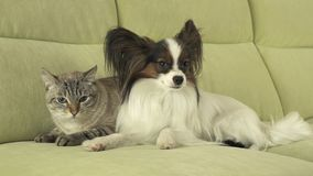 Dog Papillon with cat Thai relationship. Dog Papillon with a cat Thai relationship Stock Images