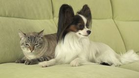 Dog Papillon with cat Thai relationship. Dog Papillon with a cat Thai relationship Royalty Free Stock Images