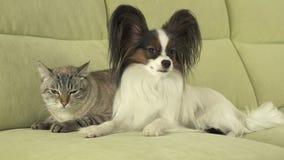 Dog Papillon with cat Thai relationship. Dog Papillon with a cat Thai relationship Royalty Free Stock Image