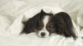 Dog Papillon crawls out from under the blankets and jumps off bed Stock Image