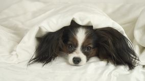 Dog Papillon crawls out from under the blankets and jumps off bed. Dog Papillon crawls out from under the blankets and jumps off the bed Royalty Free Stock Images