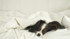 Dog Papillon crawls out from under the blankets and jumps off bed. Dog Papillon crawls out from under the blankets and jumps off the bed Royalty Free Stock Photo