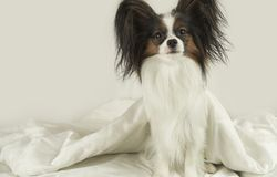 Dog Papillon crawls out from under the blankets and jumps off bed stock photos