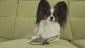 Dog Papillon dog is lying on the couch and is studying smartphone Stock Photography