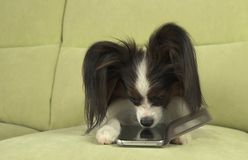 Dog Papillon dog is lying on the couch and is studying smartphone. Dog Papillon dog is lying on the couch and is studying a smartphone Royalty Free Stock Photos