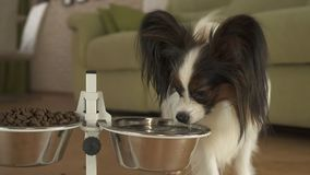 Dog Papillon drinks clean water from a metal bowl on a stand in living room. Dog Papillon drinks clean water from a metal bowl on a stand in the living room Royalty Free Stock Image