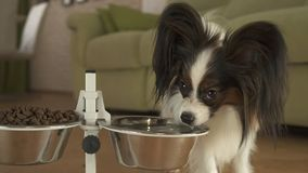 Dog Papillon drinks clean water from a metal bowl on a stand in living room. Dog Papillon drinks clean water from a metal bowl on a stand in the living room Royalty Free Stock Photo