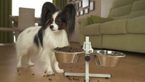 Dog Papillon eats dry food from a metal bowl on a stand in living room. Dog Papillon eats dry food from a metal bowl on a stand in the living room Royalty Free Stock Images