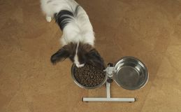 Dog Papillon eats dry food from a metal bowl on a stand in living room. Dog Papillon eats dry food from a metal bowl on a stand in the living room Stock Image