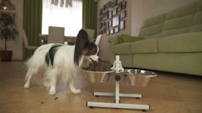 Dog Papillon eats dry food from a metal bowl on a stand in living room