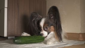 Dog Papillon eats fresh green cucumber with appetite