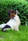 Dog Papillon in the garden Stock Images