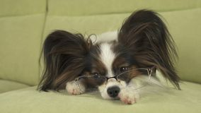 Dog Papillon dog in glasses lies on couch on his paws and thinks. Dog Papillon dog in glasses lies on the couch on his paws and thinks Royalty Free Stock Photography