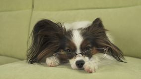 Dog Papillon dog in glasses lies on couch on his paws and thinks. Dog Papillon dog in glasses lies on the couch on his paws and thinks Stock Photography