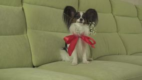 Dog Papillon keeps flower in his mouth surrounded by red roses in love on valentines day stock footage video. Dog Papillon keeps a flower in his mouth surrounded stock video