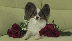 Dog Papillon keeps flower in his mouth surrounded by red roses in love on valentines day stock footage video. Dog Papillon keeps a flower in his mouth surrounded stock footage