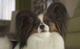 Dog Papillon keeps his nose to the tasty treat team in living room. Dog Papillon keeps his nose to the tasty treat team in the living room Royalty Free Stock Photo