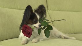 Dog Papillon keeps red rose in his mouth in love on valentines day Royalty Free Stock Images