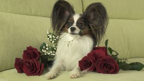 Dog Papillon keeps red rose in his mouth in love on valentines day. Dog Papillon keeps a red rose in his mouth in love on valentines day Stock Image