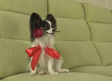 Dog Papillon keeps red rose in his mouth in love on valentines day. Dog Papillon keeps a red rose in his mouth in love on valentines day Stock Photo