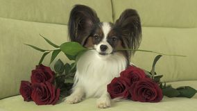 Dog Papillon keeps red rose in his mouth in love on valentines day. Dog Papillon keeps a red rose in his mouth in love on valentines day Royalty Free Stock Image