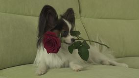 Dog Papillon keeps red rose in his mouth in love on valentines day stock footage video. Dog Papillon keeps a red rose in his mouth in love on valentines day stock footage