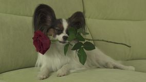 Dog Papillon keeps red rose in his mouth in love on valentines day stock footage video. Dog Papillon keeps a red rose in his mouth in love on valentines day stock video