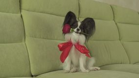 Dog Papillon keeps red rose in his mouth in love on valentines day stock footage video. Dog Papillon keeps a red rose in his mouth in love on valentines day stock video footage