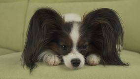 Dog Papillon lies on couch on his paws and thinks. Dog Papillon lies on the couch on his paws and thinks Royalty Free Stock Photos