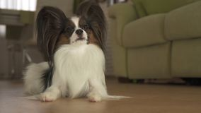 Dog Papillon lies on the floor in living room. Dog Papillon lies on the floor in the living room Royalty Free Stock Photography