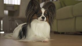 Dog Papillon lies on the floor in living room. Dog Papillon lies on the floor in the living room Stock Images