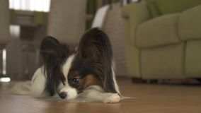 Dog Papillon lies on the floor in living room Royalty Free Stock Image