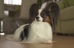 Dog Papillon lies on the floor in living room. Dog Papillon lies on the floor in the living room Stock Image
