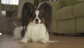Dog Papillon lies on the floor in living room. Dog Papillon lies on the floor in the living room Royalty Free Stock Images
