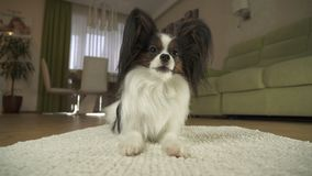 Dog Papillon lies on the rug in living room. Dog Papillon lies on the rug in the living room Stock Photography