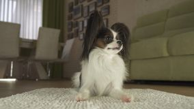 Dog Papillon lies on the rug in living room. Dog Papillon lies on the rug in the living room Royalty Free Stock Photo