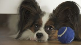 Dog Papillon looks under the bed and tries to reach the ball in living room. Dog Papillon looks under the bed and tries to reach the ball in the living room Stock Photos
