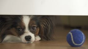 Dog Papillon looks under the bed and tries to reach the ball in living room Royalty Free Stock Images