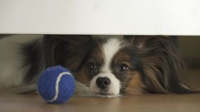 Dog Papillon looks under the bed and tries to reach the ball in living room. Dog Papillon looks under the bed and tries to reach the ball in the living room Stock Photography