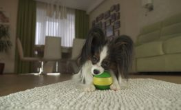 Dog Papillon playing with a ball on rug in the living room. Dog Papillon playing with a ball on a rug in the living room Stock Photos