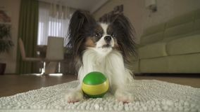 Dog Papillon playing with a ball on rug in the living room. Dog Papillon playing with a ball on a rug in the living room Stock Photography