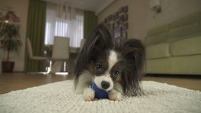 Dog Papillon playing with a ball on rug in the living room. Dog Papillon playing with a ball on a rug in the living room Stock Images