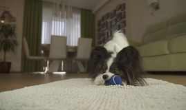 Dog Papillon playing with a ball on rug in the living room. Dog Papillon playing with a ball on a rug in the living room Royalty Free Stock Image