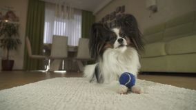 Dog Papillon playing with a ball on rug in the living room. Dog Papillon playing with a ball on a rug in the living room Royalty Free Stock Photo