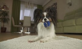 Dog Papillon playing with a ball on rug in the living room. Dog Papillon playing with a ball on a rug in the living room Royalty Free Stock Photography